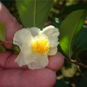 CamelliaSinensis